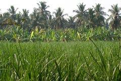 Plantação de banana na cidade de Humpi, Índia, Karnataka Produção alimentar orgânica da exploração agrícola Fotos de Stock Royalty Free