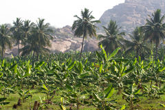 Plantação de banana na cidade de Humpi, Índia, Karnataka Produção alimentar orgânica da exploração agrícola Foto de Stock Royalty Free