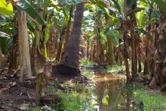 Plantação de banana na cidade de Humpi, Índia, Karnataka Produção alimentar orgânica da exploração agrícola Fotografia de Stock Royalty Free