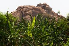 Plantação de banana na cidade de Humpi, Índia, Karnataka Produção alimentar orgânica da exploração agrícola Fotografia de Stock
