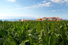 Plantação de banana - tenerife fotos de stock royalty free