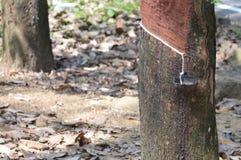 Plantação de borracha Imagem de Stock