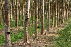 Plantação de borracha Fotografia de Stock