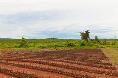 Plantação de borracha Fotos de Stock Royalty Free