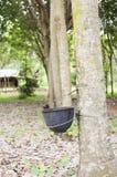 Plantação de borracha Fotografia de Stock Royalty Free