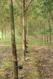 Plantação de borracha Imagens de Stock