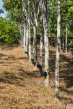 Plantação de borracha Fotos de Stock