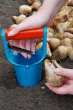 Plantação de bulbo Imagem de Stock Royalty Free