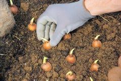 Plantação de bulbo Foto de Stock