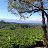 Plantação de café Fotos de Stock Royalty Free