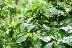 Plantação de café Imagens de Stock