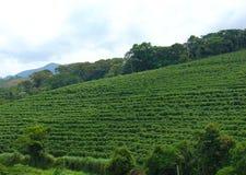 Plantação de café foto de stock