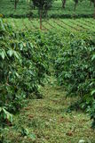 Plantação de café Fotos de Stock