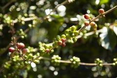 Plantação de café, Boquete, Panama6 Imagem de Stock Royalty Free