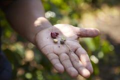 Plantação de café, Boquete, Panama17 Fotos de Stock
