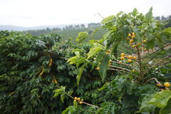 Plantação de café na cidade rural de Carmo de Minas Brazil Foto de Stock