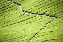 Plantação de chá fotos de stock