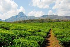 Plantação de chá Fotografia de Stock Royalty Free
