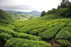 Plantação de chá foto de stock royalty free