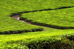 Plantação de chá 2 Imagens de Stock Royalty Free