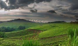 Plantação de chá Imagens de Stock