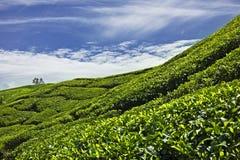 Plantação de chá Foto de Stock