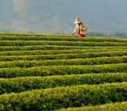 Plantação de chá (3) fotos de stock