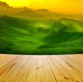 Plantação de chá Imagem de Stock