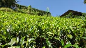 Plantação de chá video estoque
