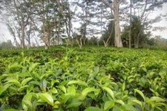 A plantação de chá foto de stock