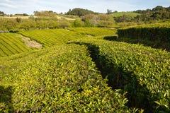 Plantação de chá Açores, Portugal Foto de Stock Royalty Free