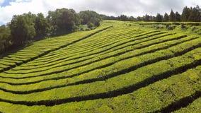Plantação de chá aérea da metragem em Cha Gorreana, Maia, San Miguel, Açores, Portugal video estoque