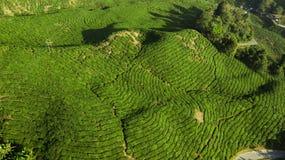 Plantação de chá de Boh, paisagem bonita em Cameron Highlands fotos de stock royalty free