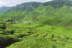 Plantação de chá, camélia Sinensis Imagem de Stock