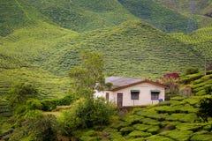 Plantação de chá de Cameron Highlands Bharat fotografia de stock royalty free