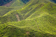 Plantação de chá de Cameron Highlands Bharat imagens de stock royalty free