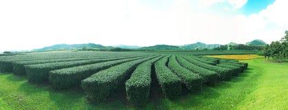Plantação de chá, Chaingrai, Tailândia, Ásia fotografia de stock royalty free