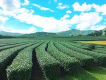 Plantação de chá, Chaingrai, Tailândia, Ásia fotos de stock royalty free