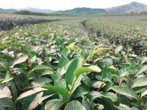 Plantação de chá, Chaingrai, Tailândia, Ásia imagem de stock royalty free