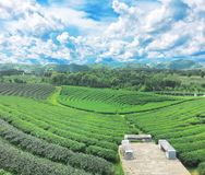 Plantação de chá, Chaingrai, Tailândia, Ásia imagens de stock