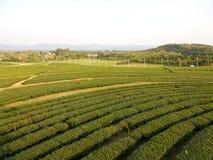 Plantação de chá - Chiang Rai ao norte de Tailândia Fotos de Stock