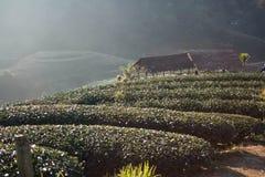 Plantação de chá da floresta imagens de stock royalty free