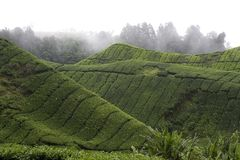 Plantação de chá das montanhas de Cameron Imagens de Stock
