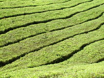 Plantação de chá das montanhas de Cameron Imagens de Stock Royalty Free