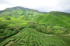 Plantação de chá de Boh, Sungai Palas Imagens de Stock Royalty Free