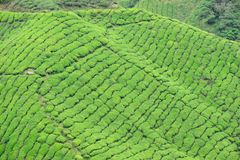 Plantação de chá de Boh, Sungai Palas Fotografia de Stock Royalty Free
