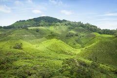 Plantação de chá de Cameron Highlands foto de stock