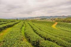 Plantação de chá de Choui Fong imagens de stock royalty free