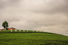 Plantação de chá de Choui Fong imagem de stock royalty free