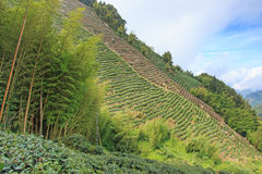 Plantação de chá de Oolong em Taiwan imagem de stock royalty free